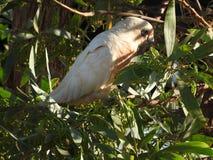 Oiseaux peu de Corella mangeant des cosses de graine photographie stock