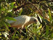Oiseaux peu de ` s de Corella recherchant l'Australie occidentale de nourriture images stock