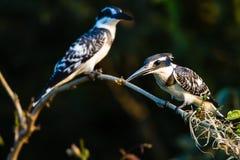 Oiseaux pies de martin-pêcheur   Photographie stock libre de droits
