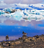 Oiseaux polaires sur le rivage de la lagune d'océan Photographie stock