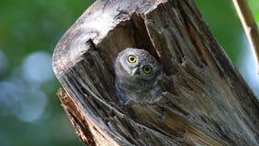 Oiseaux repérés de brama d'Athene de jeune hibou en cavité d'arbre banque de vidéos
