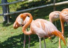 Oiseaux roses de flamant Image stock