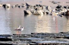 Oiseaux rouges de jambes Image libre de droits