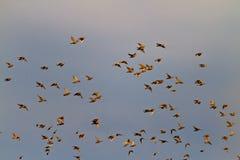Oiseaux sauvages dans le ciel orageux Image libre de droits