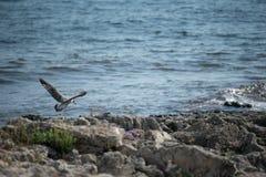 Oiseaux sur des roches de mer Photos stock