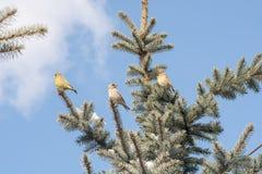 Oiseaux sur l'arbre de Noël Images libres de droits