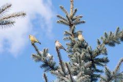 Oiseaux sur l'arbre de Noël Photos stock