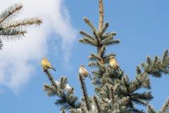 Oiseaux sur l'arbre de Noël Photo stock