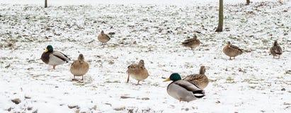 Oiseaux sur la neige Image stock