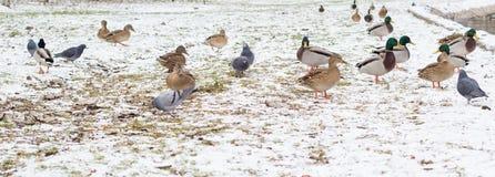 Oiseaux sur la neige Photographie stock libre de droits