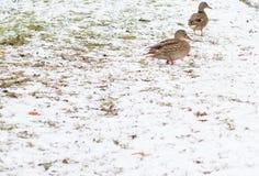 Oiseaux sur la neige Photo libre de droits