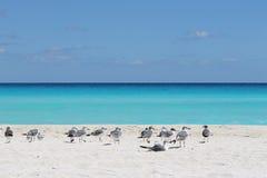 Oiseaux sur la plage CANCUN, MEXIQUE, MER DES CARAÏBES Photographie stock libre de droits
