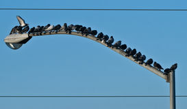 Oiseaux sur le fond de Pôle léger. Photo stock