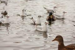 Oiseaux sur le lac Image libre de droits