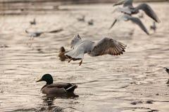 Oiseaux sur le lac Photos libres de droits