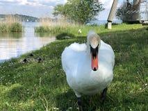 Oiseaux sur le Lac de Constance dans Kreuzlingen ou matrice Voegel oder Vogel AM Bodensee image libre de droits