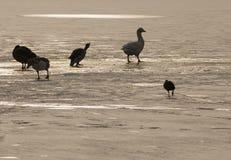 Oiseaux sur le lac glacé Photos libres de droits