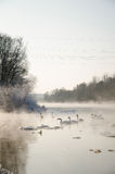 Oiseaux sur une rivière congelée Photographie stock