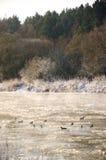 Oiseaux sur une rivière congelée Photos libres de droits