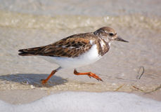 Oiseaux vermeils de Turnstone-Plage Photo libre de droits