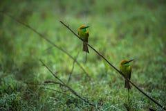 Oiseaux verts de mangeur d'abeille Photos libres de droits