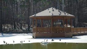 Oiseaux volant au-dessus de l'étang de parc de ville en premier ressort banque de vidéos