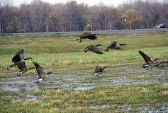 Oiseaux volant au-dessus de la réserve nationale de Montezuma, Seneca Falls, NY Images stock