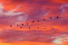 Oiseaux volant dans la formation au coucher du soleil Photo libre de droits