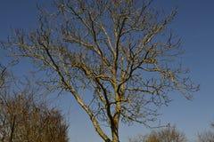 oisolerad tree Royaltyfria Bilder