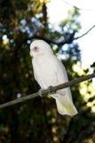 oisolerade kakaduacorellas synade little Royaltyfria Bilder