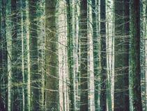oisolerade treestammar Sikt till och med ett lågt djup för tät barrskog av fältet Arkivbilder