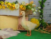 Oison de bébé dans la décoration de studio de Pâques Image stock