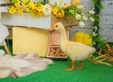 Oison de bébé dans la décoration de studio de Pâques Photo libre de droits