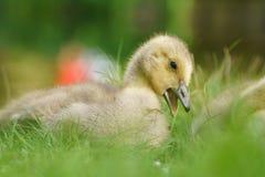 Oison mignon d'oie de Canada Image stock