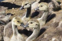 Oisons d'oie de Canada Photographie stock libre de droits