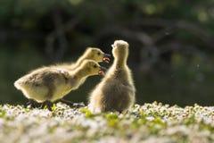 Oisons d'oie de Canada (canadensis de Branta) appelle photographie stock