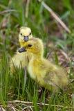 Oisons d'oies de chéri dans l'herbe Saskatchewan Image libre de droits