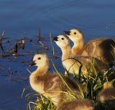 Oisons d'oies du Canada au bord de l'étang