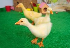 Oisons de bébé dans la décoration de studio de Pâques Photo libre de droits
