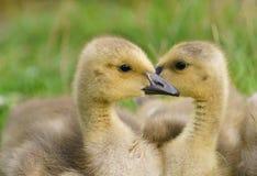 Oisons mignons d'oie de Canada Photo stock