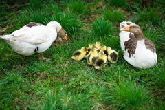 Oisons sur l'herbe Photo libre de droits