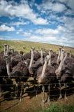 Oistrich gospodarstwo rolne w Południowa Afryka Obraz Royalty Free