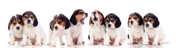 Oito cachorrinhos bonitos do lebreiro Foto de Stock Royalty Free