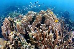 Oito peixes unidos tropicais dos Butterflyfish em Coral Reef foto de stock
