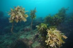 Ojämn undervattens- rev med brunalg royaltyfri foto