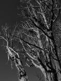 Ojämna gamla träd i svartvitt Royaltyfri Bild
