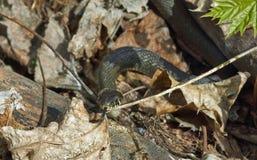 Oj white för orm för bakgrundsillustration non giftig Fotografering för Bildbyråer