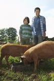 Ojca I syna dopatrywania świnie Jedzą W Sty zdjęcie royalty free