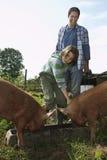 Ojca I syna Żywieniowe świnie W Sty zdjęcia stock