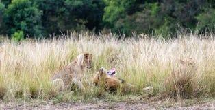 Ojca lew i Ciekawy lisiątko Fotografia Royalty Free